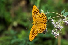 Monarch butterfly. Feeding on flowers in garden stock photos
