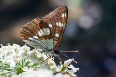 Monarch butterfly. Feeding on flowers in garden with dark background stock photos