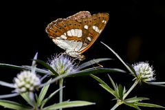 Monarch butterfly. Feeding on flowers in garden with dark background stock image
