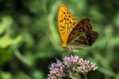 Monarch butterfly. Feeding on flowers in garden stock image