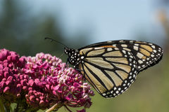 Monarch Butterfly. A Monarch Butterfly feeding from flowwers on a plant stock images