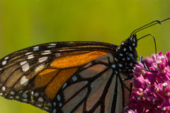 Monarch Butterfly. A Monarch Butterfly feeding from flowwers on a plant stock photos