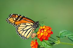 Monarch Butterfly Feeding on Lantana. A beautiful Monarch Butterfly feeding on a Lantana bloom, horizontal with background space royalty free stock photos