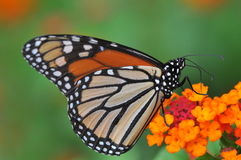 Monarch Butterfly feeding on Lantana Royalty Free Stock Image