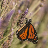 Monarch butterfly feeding on lavender nectar Royalty Free Stock Photo