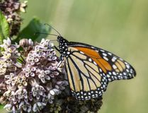 Monarch Butterfly feeding on Milkweed blooms. A Monarch Butterfly is feeding on a Milkweed bloom royalty free stock photo