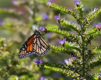 Monarch butterfly feeding. Monarch butterfly feeding on purple flower. Image taken in Southern California royalty free stock photography
