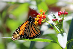 Monarch. A Monarch butterfly feeding on the nectar of these flowers royalty free stock images