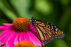 Monarch Butterfly. Feeding on nectar fromon a cone flower Stock Photography