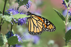 Monarch butterfly. A Monarch butterfly feeding on the nectar of these purple flowers royalty free stock images
