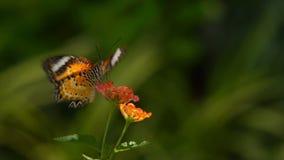 Monarch Butterfly. A  feeding on orange flowers in a Summer garden stock video