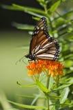 Monarch Butterfly. Feeding on orange milkweed royalty free stock image