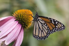 Monarch Butterfly Feeding on Cone Flower Royalty Free Stock Photography