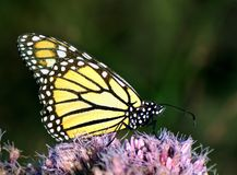 Monarch butterfly feeding on pink flower. Portrait of Monarch butterfly feeding outside on pink flower Stock Image