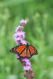 Monarch Butterfly feeding on Pink Flower Royalty Free Stock Photo