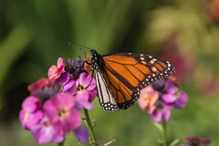 Monarch butterfly feeding on pink flowers Royalty Free Stock Photo