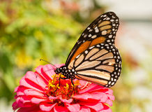 Monarch butterfly, feeding on a pink Zinnia Royalty Free Stock Image