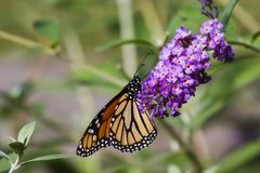 Monarch Butterfly on Butterfly Bush Royalty Free Stock Photo