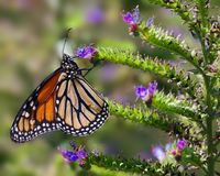 Monarch butterfly feeding. Monarch butterfly feeding on purple flower. Image taken in Southern California stock image