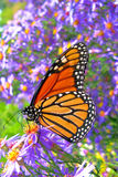 Monarch Butterfly Feeding on Purple Flowers Pollen. Monarch butterfly (Danaus plexippus) feeding on pollen in purple summer flowers Royalty Free Stock Photos