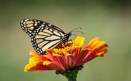 Free Monarch Butterfly Feeding Red And Yellow Flower Royalty Free Stock Photo - 121731695