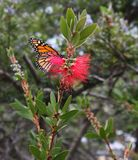 Monarch butterfly feeding on bottlebrush flower. Monarch butterfly feeding on red bottlebrush flower in California along the coast royalty free stock photos