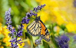 Monarch butterfly feeding on Salvia flowers. Monarch butterfly Danaus plexippus feeding on blue salvia flowers in the autumn garden royalty free stock images