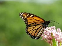 Monarch butterfly feeding. A vibrant colorful macro shot detailing the beauty of a monarch butterfly on a pink flower royalty free stock images