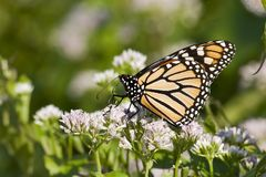 Butterfly Feeding on a White Flower Stock Photos