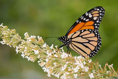 Monarch butterfly feeding on a white flower Stock Image