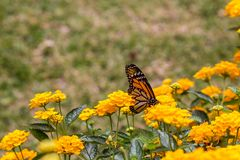 Monarch butterfly feeding on yellow flowers. In a garden stock photos