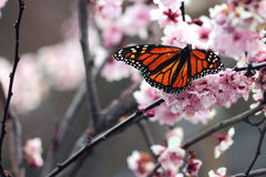 Monarch Butterfly. A monarch butterfly feeds on blossom nectar in a spring garden royalty free stock photo