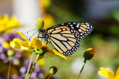 Monarch butterfly on bright yellow flower. Monarch butterfly feeds on a bright yellow flower in Arizona`s Sonoran Desert royalty free stock image