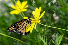 Monarch butterfly on bright yellow flower. Monarch butterfly feeds on a bright yellow flower in Arizona`s Sonoran Desert royalty free stock images