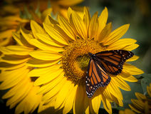 Monarch butterfly feeds on brilliant sunflower. During August Royalty Free Stock Photo