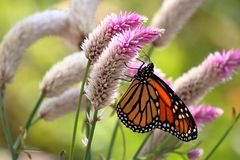 Monarch Butterfly. A Monarch Butterfly feeds on Celosia flowers in my garden on a late summer afternoon stock photo