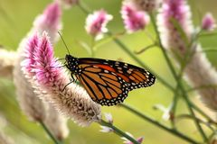 Monarch Butterfly. A Monarch Butterfly feeds on Celosia flowers in my garden on a late summer afternoon royalty free stock photography