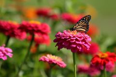 Monarch Butterfly in Heirloom Zinnias. A Monarch Butterfly feeds in my heirloom Zinnia garden on a summer day stock photos