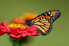 Monarch Butterfly in Heirloom Zinnias. A Monarch Butterfly feeds in my heirloom Zinnia garden on a summer day stock photography