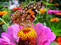 Close-up of a Monarch Butterfly. Monarch Butterfly feeds on the pink Zinnia flower in summer day stock images