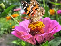 Close-up of a Monarch Butterfly. Monarch Butterfly feeds on the pink Zinnia flower in summer day stock photography