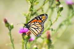 A monarch butterfly feeds on thistle nectar. A close-up shot of a monarch butterfly feeding on thistle nectar royalty free stock photos