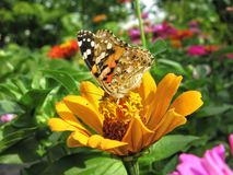Close-up of a Monarch Butterfly. Monarch Butterfly feeds on the yellow Zinnia flower in summer day stock photography