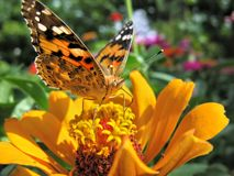 Close-up of a Monarch Butterfly. Monarch Butterfly feeds on the yellow Zinnia flower in summer day stock photos