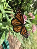 Monarch Butterfly. Female Monarch Butterfly resting on swamp milkweed stock photos