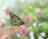 Monarch butterfly on a finger Stock Photography