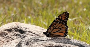 Monarch butterfly flies off from rock in slow motion.