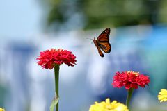 Monarch Butterfly in Flight. A Monarch Butterfly flies about the brightly colored flowers in my garden stock image