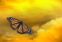 Monarch Butterfly in Flight at Sunset Royalty Free Stock Photo