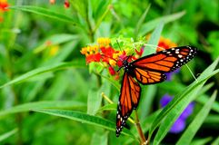 Monarch butterfly, Florida royalty free stock photography